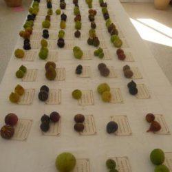 Collezione di fichi in mostra al conservatorio botanico